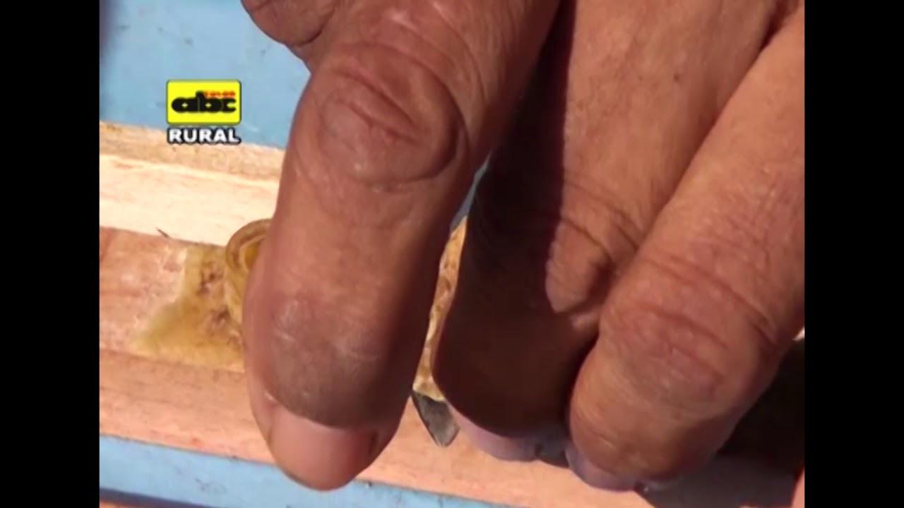 Apicultura.Extracción de reinas para multiplicación de colmenas