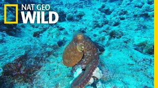 This Incredible Octopus Looks Psychedelic | Nat Geo Wild by Nat Geo WILD