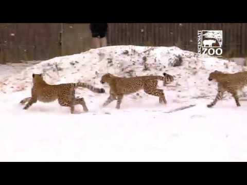 Cheetah Cubs Experience Snow for the First Time