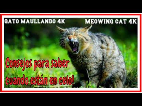 Gato maullando Fuerte en celo Sonido animal -loud meowing cat Sound animal 4K
