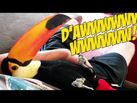 Pet Toucan Likes to Cuddle Like a Baby