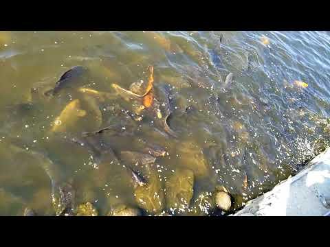 (Taudaha | Beautiful lake with Amazing Fishes in Nepal...62 sec.)