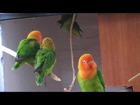 agapornis - Colonia de Agapornis lilianae o de Nyasa. Lilianae (nyasa) lovebirds Nombre científico: Agapornis Lilianae o Nyasa. (Shelley, 1894). Subespecies: No existen....