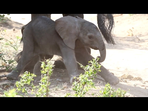 Adorable Baby Elephants First Wobbly Steps