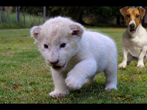 new born white lion cub and dogs best friends