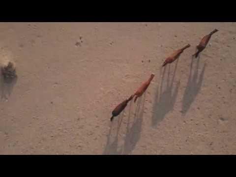 Les coursiers du Namib