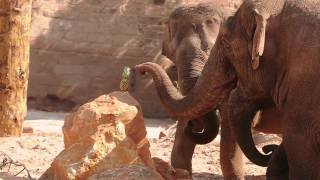 Elephants enjoy revamped paddock at Chester Zoo