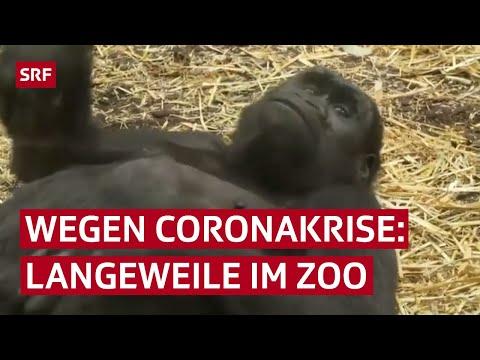 Schweiz: Gelangweilte Affen im Zoo leiden wegen dem Coronavirus