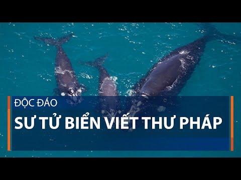 Độc đáo sư tử biển viết thư pháp | VTC1 - Thời lượng: 71 giây.
