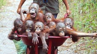 Video Orangutan - Funny Orangutans And Cute Orangutan Videos || NEW MP3, 3GP, MP4, WEBM, AVI, FLV Juli 2018