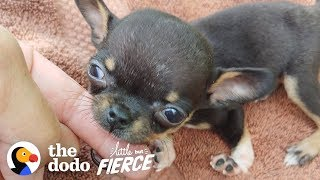 1-pound Chihuahua Rescue Puppy With Backwards Legs Does It ALL | The Dodo Little But Fierce by The Dodo