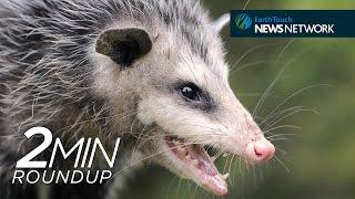 Opossum Antivenom, A Shark Migration&Earth Hour 2015