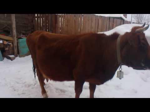 Упитанность коров