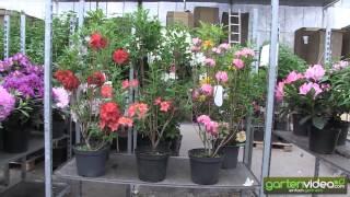 #1092 Der Unterschied zwischen Rhododendron und Azaleen