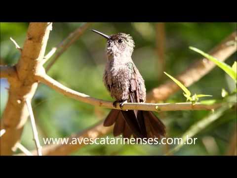 Beija-flor-cinza - Cristiano Voitina