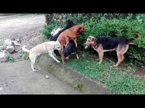 Video Perros peleando por una perra en Tenancingo México download in MP3, 3GP, MP4, WEBM, AVI, FLV January 2017