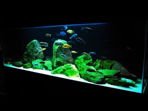cichlid - SUBSCRIBE◅ - http://goo.gl/1OeGu ▻SHARE◅ - http://www.youtube.com/watch?v=H0o6SK... Fish T-Shirts - http://africancichlidhub.com/products-page Website - htt...