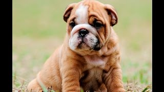 English bulldog puppies for sale, great temperaments, low to the ground wide chest and very playful 2 year Heath warranty!Contact me at 786-207-4470 or email me info@mauiexpokennel.comwww.englishbulldogbreeder.net