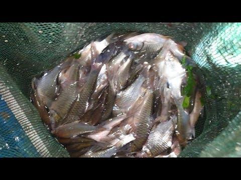Trúng bầy cá, tìm lại cảm giác sướng tay ở 2 dạo nước tối | Săn bắt SÓC TRĂNG | - Thời lượng: 14 phút.
