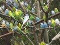 Budgerigar Parakeet Singing Chirping Preening Feeding Playing Socializing  Part 2
