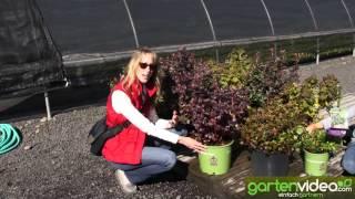 #891 BrazelBerries - Kompakte Heidelbeersorten mit Zierwert