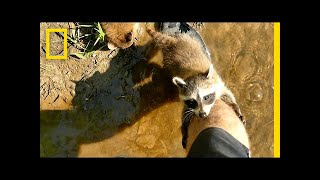 Video Adorable Raccoon Babies Make Human Friend | National Geographic MP3, 3GP, MP4, WEBM, AVI, FLV Agustus 2018