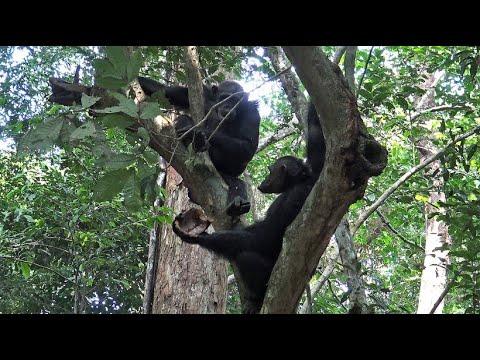 Gabun: Schimpansen knacken Schildkröten (Loango Natio ...