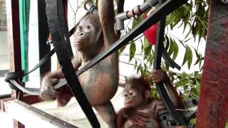 Baby Gito and baby Asoka are introduced for the very first time! This is Gito's first meeting with another baby orangutan.