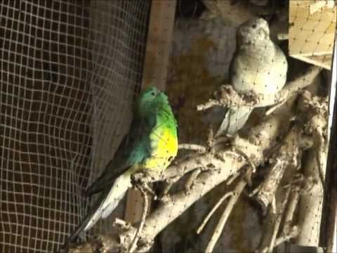 Red Rumped Parakeet Song