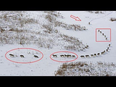 Czy wiesz, jak urządzone jest stado wilków?