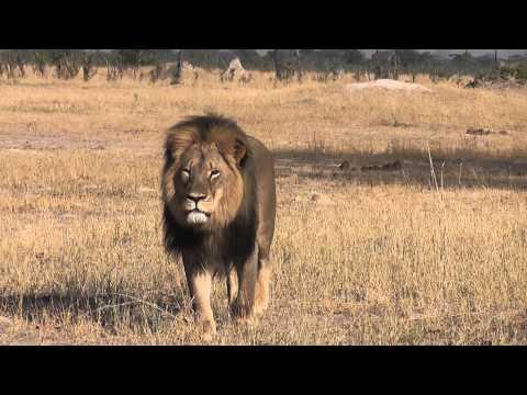 Cazador español mata al león más popular de Zimbabue
