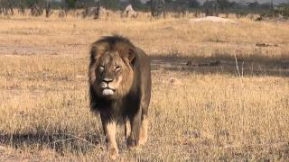 Please note Copyrite 2015. Cecil in this clip could not be protected as there was no good boundary on the East of Hwange...