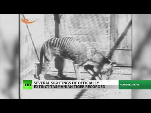 Witnesses: Tasmanian tiger back from extinction