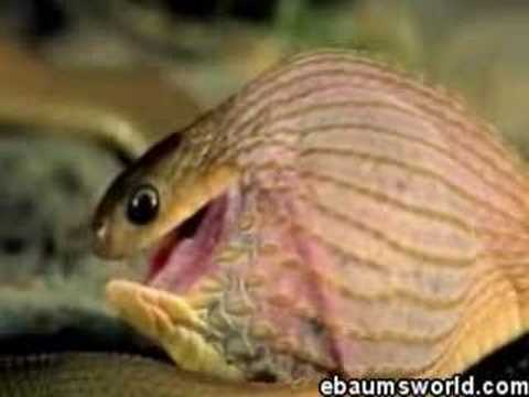 0 Snake Eats Giant Egg