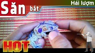 Tắc kè hoa (gecko), tắc kè làm cảnh, tắc kè đổi màu ĐT: 0944310021