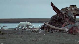 Video Polar Bears Feast On Dead Whale  - Wild Alaska - BBC MP3, 3GP, MP4, WEBM, AVI, FLV Agustus 2017