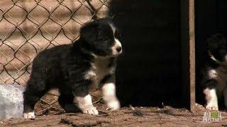 Cachorros BC pastoreando