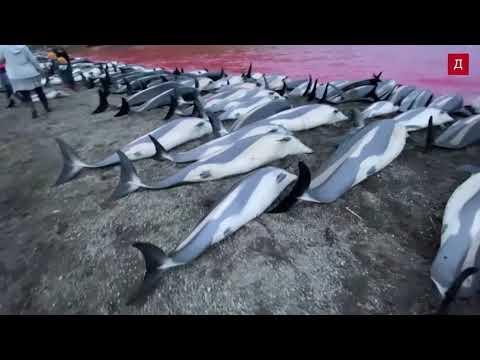 Нeчуваните 1400 делфина бяха избити на Фарьорските острови