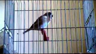 la plus longue VIDEO chardonneret sur youtube καρδερίνα Carduelis marocain 11 mois 2012