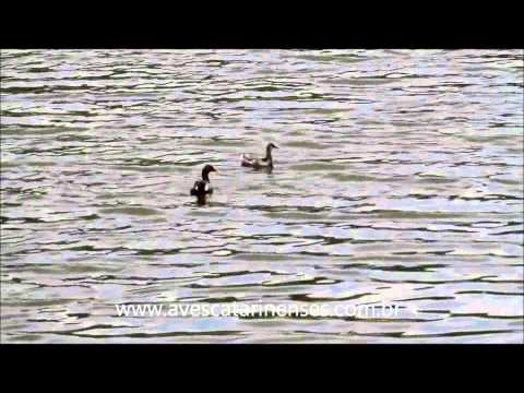 Frango-d'água-comum - Cristiano Voitina
