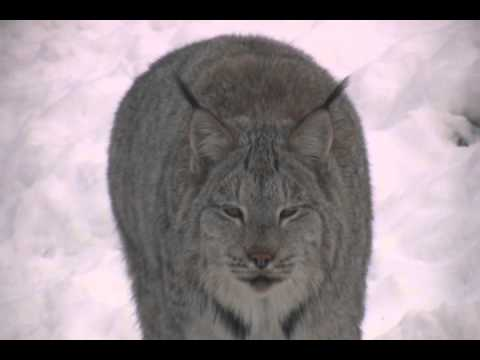 LYNX - The Canadian lynx is also related to the Eurasian (Siberian) lynx, the critically endangered Iberian lynx and the bobcat. They are a medium sized feline and ...
