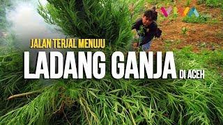 Video Jalan Terjal Melihat Ladang Ganja di Aceh MP3, 3GP, MP4, WEBM, AVI, FLV November 2018