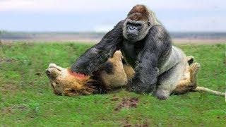 Video LIVE: Big Battle of Gorilla vs Lion - Crocodile vs Leopard - Buffalo vs Python - Wild Animals 2018 MP3, 3GP, MP4, WEBM, AVI, FLV Desember 2018