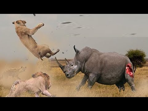 Rhino vs Lion Fight   Most Amazing Wild african animals Attacks   Animal Fights HD