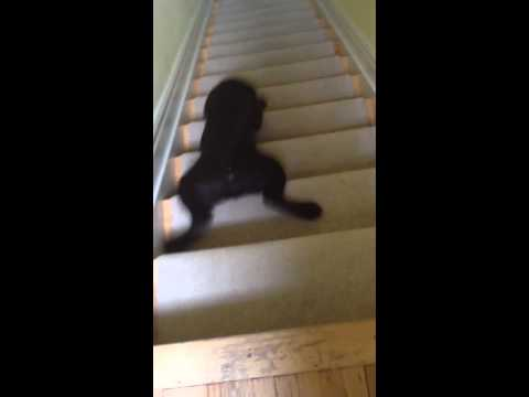 Xuống cầu thang level Chó