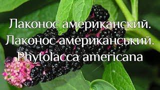 Лаконос американський