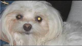 Dog Breeds&Dog Training : How To Train A Shih Tzu