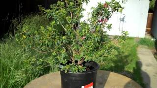 """Introducing the Azalea Duc De Rohan plant, that I have planted on the ground in hopes of getting a big trunk in a few years, and then making it into an Informal upright bonsai.  Apologies for the messy grounds, this is in my side yard, sort of my own """"playground"""". Next Update for this plant will probably in a year or so. Thanks"""