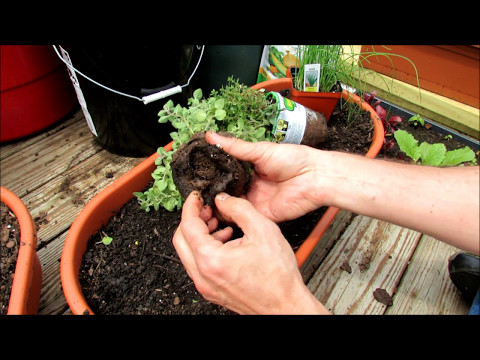, title : 'Planting Herbs in Containers: Oregano, Chives, Thyme, Mints, Basil, Sage, Rosemary, Lavender'