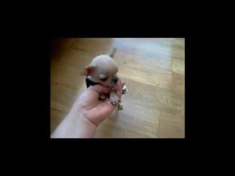Tiny Teacup Chihuahua Puppy – Baby Vivian ♥
